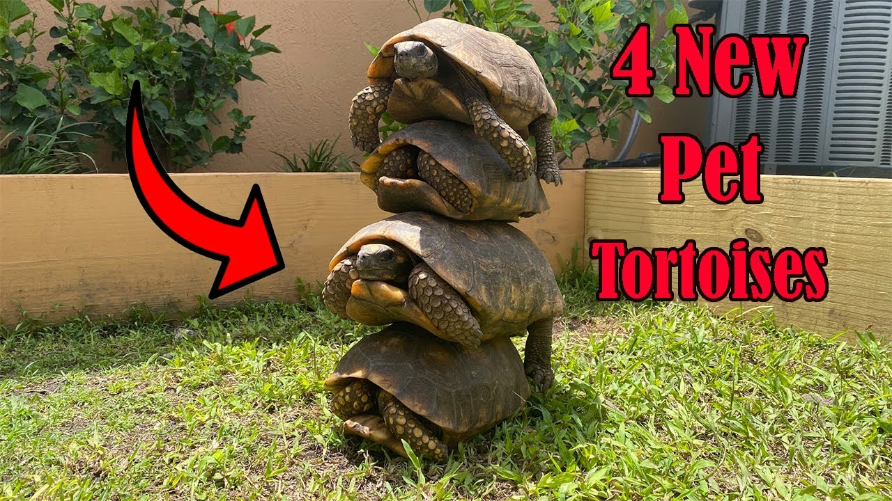 I Got 4 New Pet Tortoises