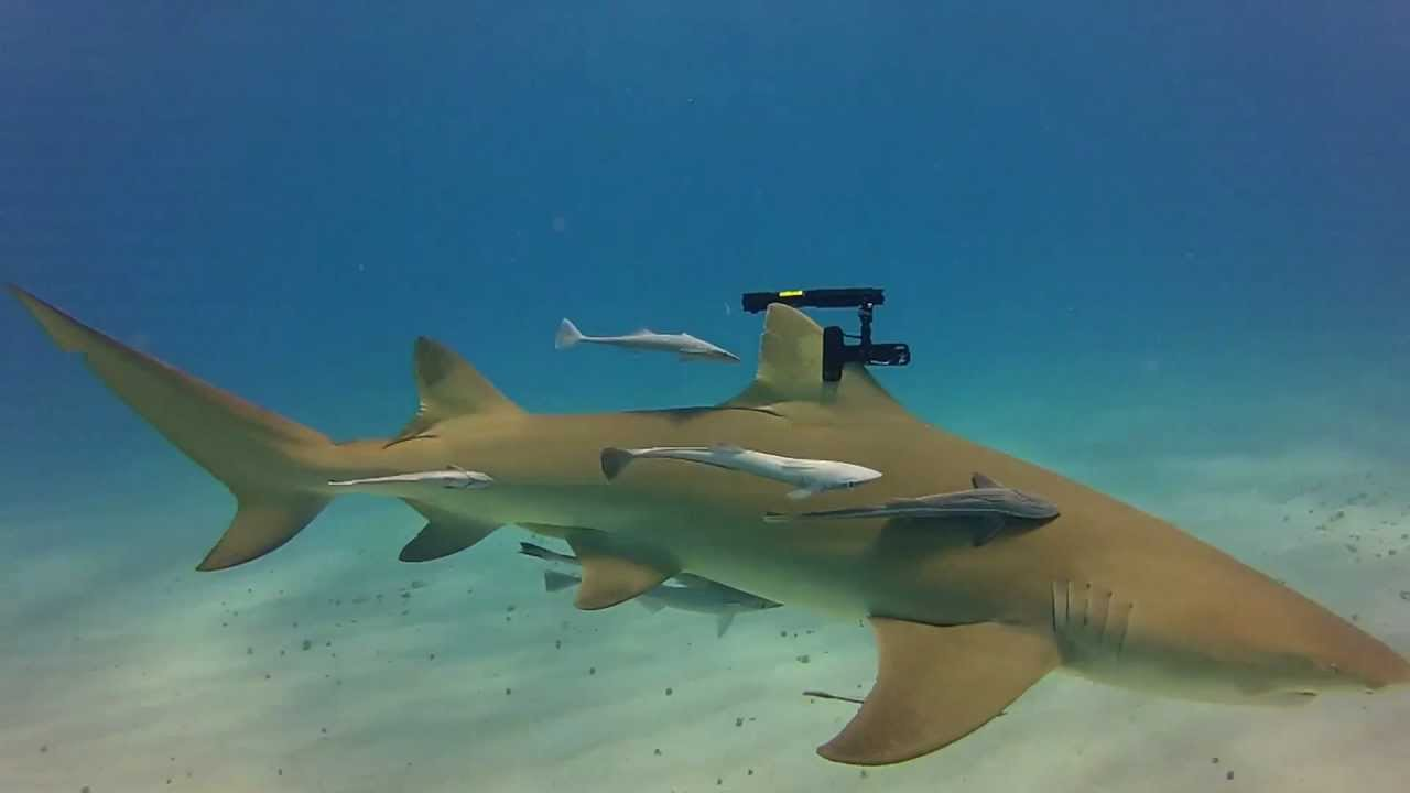 real life sharks with wicked laser beams youtube