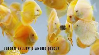 Top 8 Types of Discus Fish - Jenis Jenis Ikan Discus Tercantik