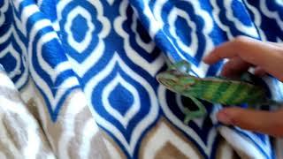 Бакки пытается убежать// Хамелеон меняет цвет//