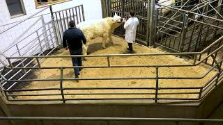 Highlights from the Irish Charolais Elite Heifer Sale 2020