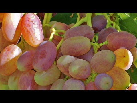 Виноград Виктор – хороший виноград, отзыв Якушенко В.Е.