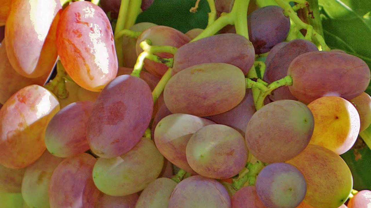 Виноград бажена  описание