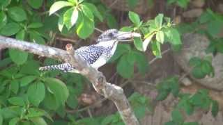 野鳥撮影・ 野鳥動画・ヘビを撃退するヤマセミに感動 Crested Kingfisher