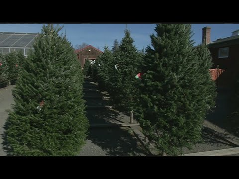 No Christmas tree shortage in western Massachusetts