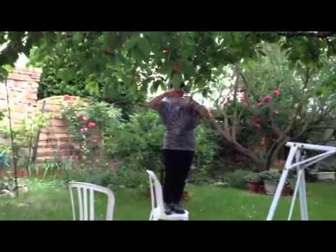 Hái cherry trong vườn nhà