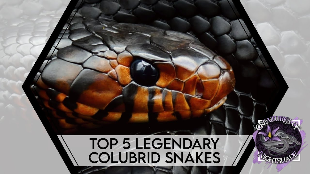 Top 5 Legendary Colubrid Snakes | Creatures of Nightshade