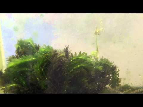 Beginner aquarium plants. Elodea Anacharis, Species Sunday