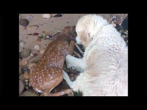 Hero Dog 'Storm' SAVES drowning Baby deer