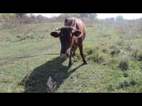 Огромная корова пасется