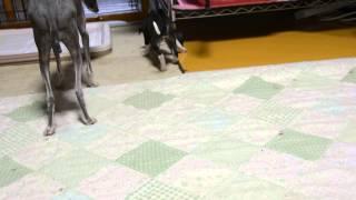 我が家の愛犬、イタリアングレーハウンドのシルビアちゃん親子です。 20...