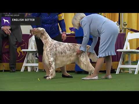 Setters (English) | Breed Judging 2020