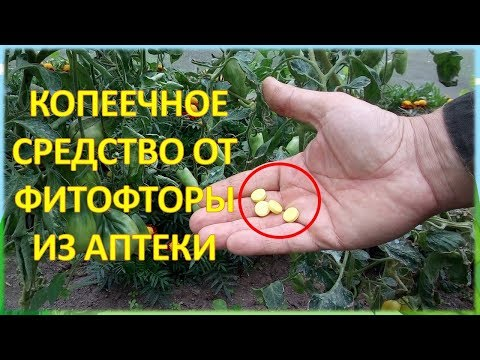 За ВОСЕМЬ рублей обработал от болезней ДВЕ теплицы с огурцами и томатами!!! Фурацилин от фитофторы.