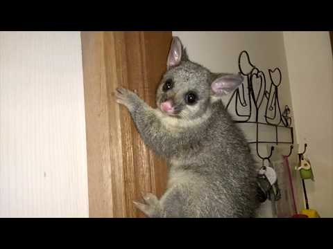 Possums In The House