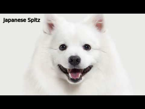 Japanese Spitz - small dog bree