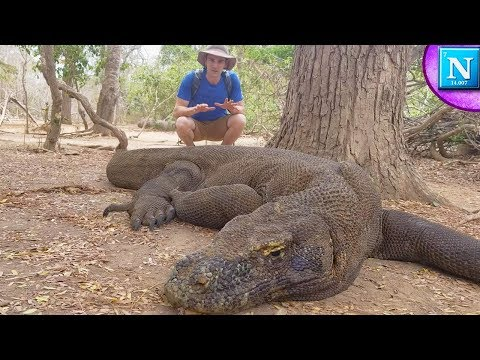 Komodo Dragons: World's Largest Lizard #ad