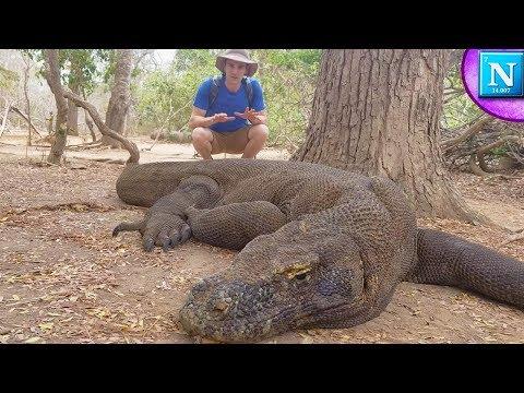Komodo Dragons: World&39;s Largest Lizard ad