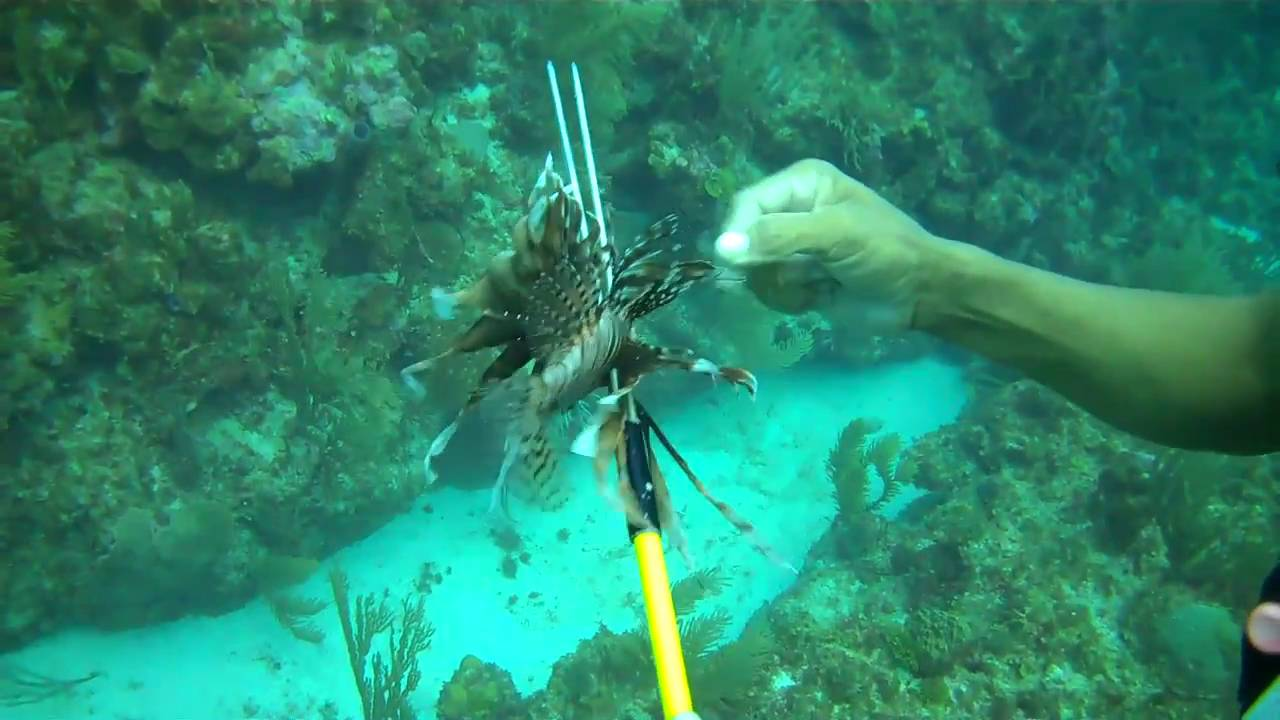 Scuba Diving, Ambergris Caye, Belize: Hunting Lionfish