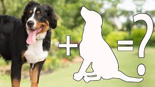 10 Unreal Bernese Mountain Dog Cross Breed / Bernese Mountain Dog Mix Breeds