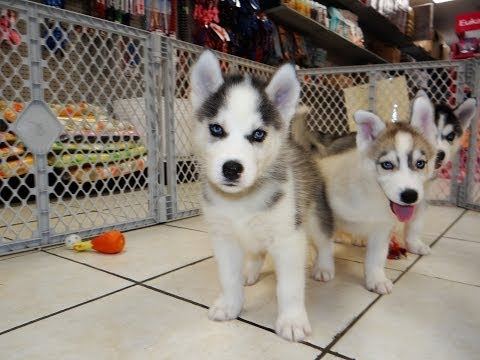 Siberian Husky, Puppies, Dogs, For Sale, In Jackson, Mississippi, MS, 19Breeders, Hattiesburg