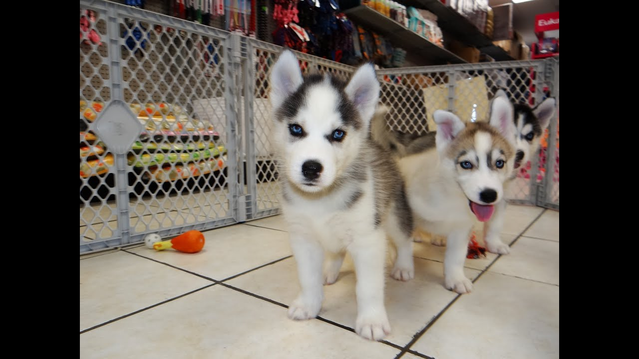 Siberian Husky Puppies Dogs For Sale In Jackson Mississippi