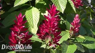 Megaskepasma erythrochlamys - Brazilian Red Cloak (Acanthaceae)