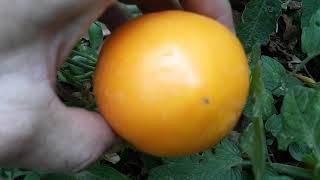Growing 1000 tomatoes in June in Arizona! Sunken bed gardening!