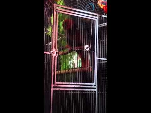 MaRy JaNe eclectus parrot Talking Parrot