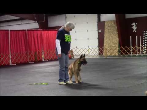 Dog Training Demo with Kal, The Belgian Malinois