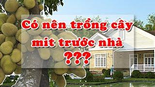 Có nên trồng cây MÍT trước nhà hay không??? (Giải đáp thắc mắc)