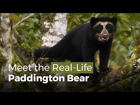 Gặp Gấu Paddington Ngoài Đời Thật