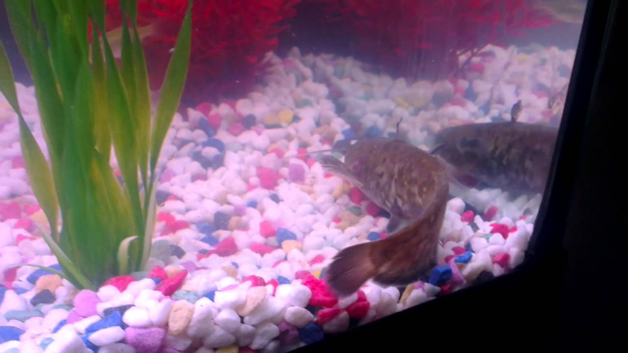 Baby Wels Catfish In My Fish Tank Youtube