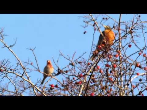 RED FINCH WHISTLING A HAPPY TUNE JANUARY 27-2012