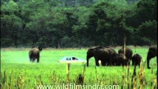 Elephants on an evening stroll in the plains of Jim Corbett National Park