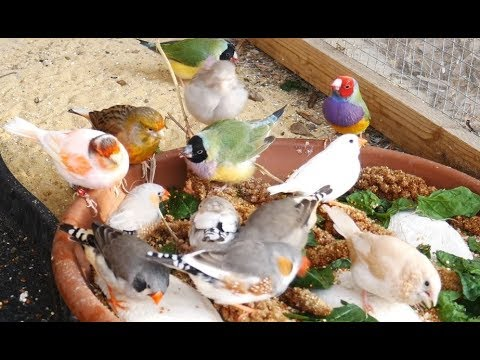 1 Hour Of Mixed Aviary Birds - Gouldian Finch, Carary, Quail, Zebra Finch And More!