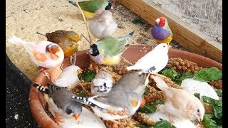 1 Hour of Mixed Aviary Birds Gouldian Finch Carary Quail Zebra Finch and more