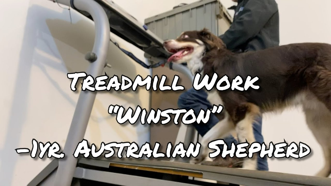 "Treadmill Work! Australian Shepherd ""Winston"" Flexing his Muscles"