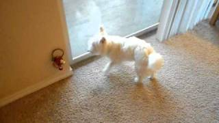 Westie Ringing A Bell To Go Outside