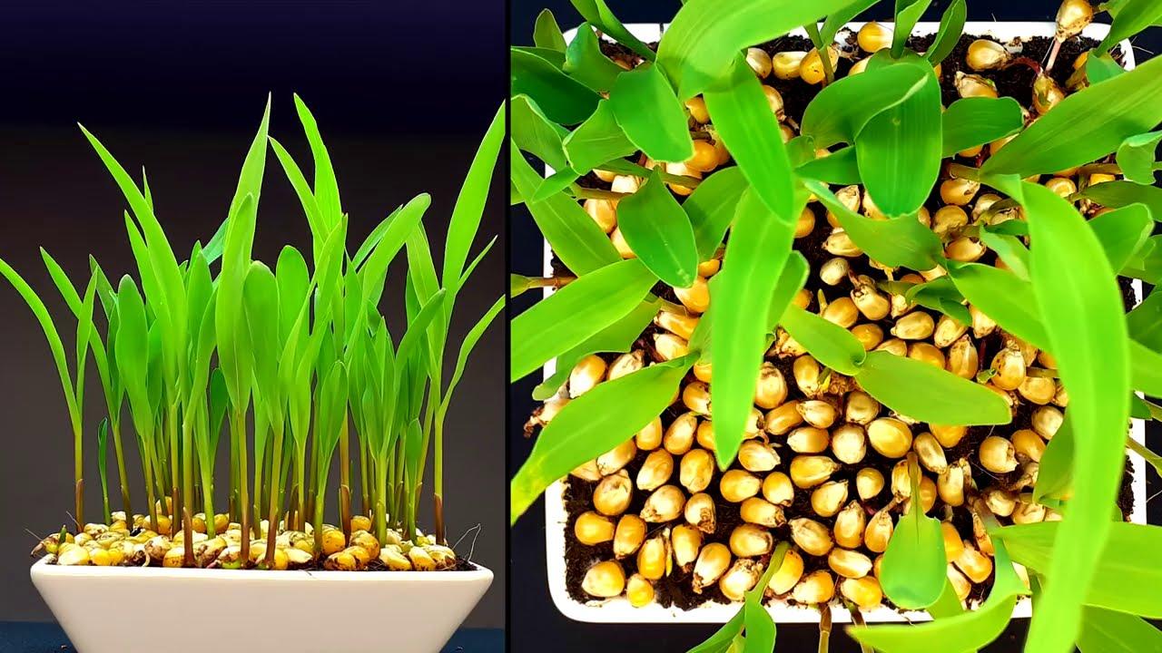 Corn growing time lapse - 12 days