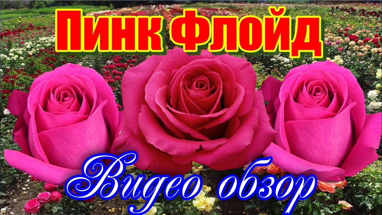 Обзор розы Пинк Флойд (Чайно гибридная) - Pink Floyd ...