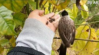 Inilah makanan rahasia burung kutilang pikat...bahkan daun nya bisa jadi obat