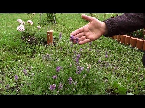 Лаванда – выращивание от посева до цветения