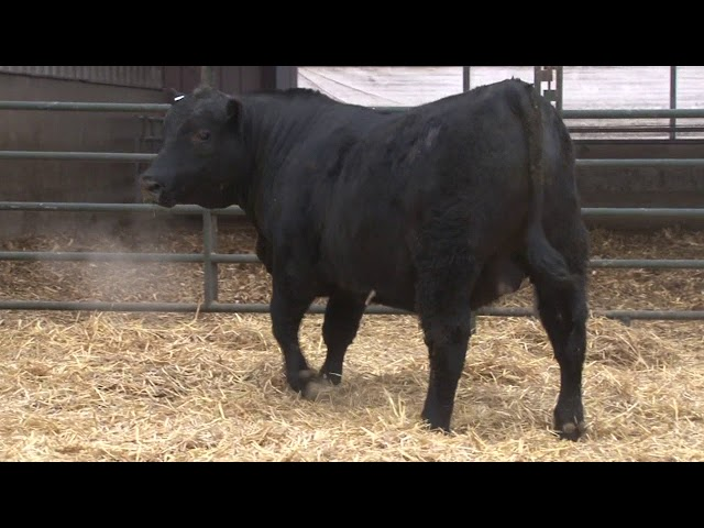 Schiefelbein Angus Farms Lot 328