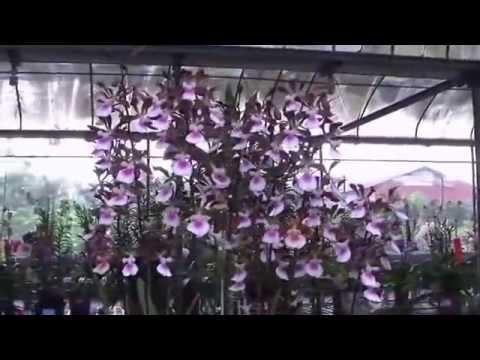 Hoa Lan Cattleya Đài Loan  cực đẹp