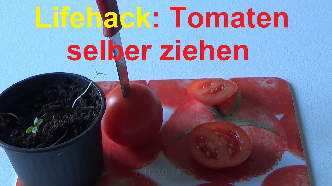 lifehack tomatenscheiben einpflanzen tomaten selber ziehen youtube. Black Bedroom Furniture Sets. Home Design Ideas