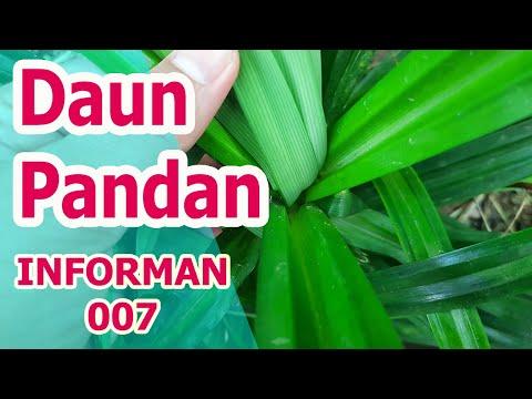 Minum AirMinum AirDaun PandanMinum AirMinum AirDaun Pandandan Jahe Secara Rutin, Rasakan Manfaatnya .