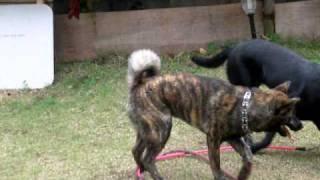 黒ラブのヴィーナスと犬プロレスをする生後8ヵ月のコテツ。