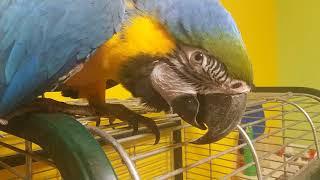 Попугай ара дома: первая реакция