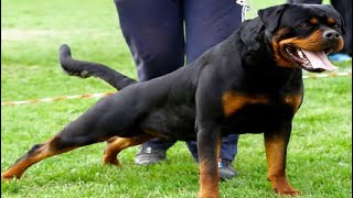 rottweiler dog shows 2021   roman rottweiler dog show 2021