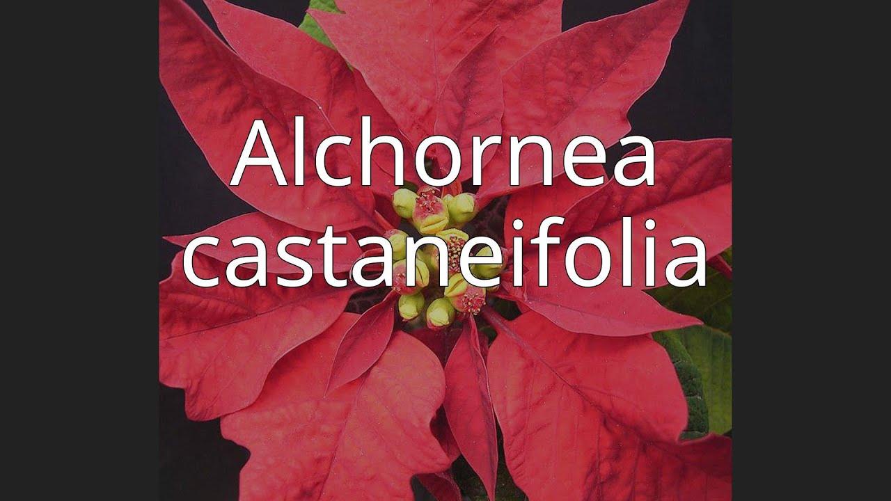Download Alchornea castaneifolia